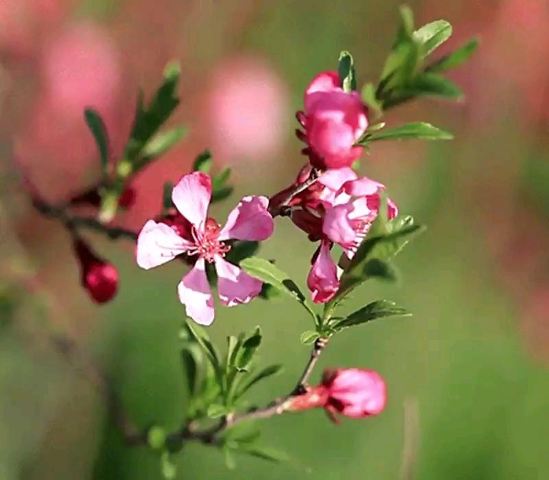 عکس متحرک شکوفه