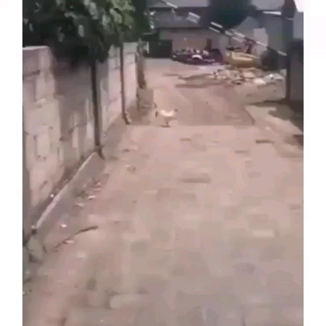 گیف پرواز کردن مرغ در آسمان از ترس سگ