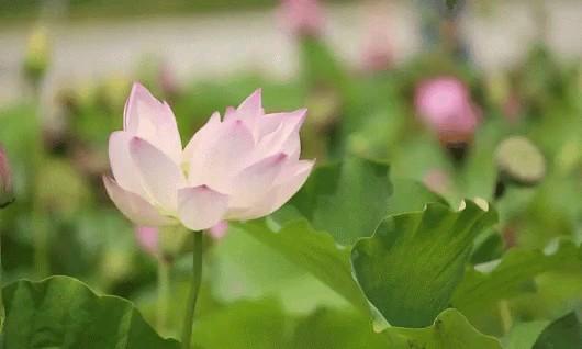 گل قشنگ نیلوفر آبی