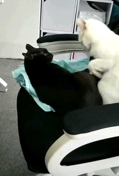 بیا بغل خودم | بغل کردن بامزه گربه سفید و مشکی