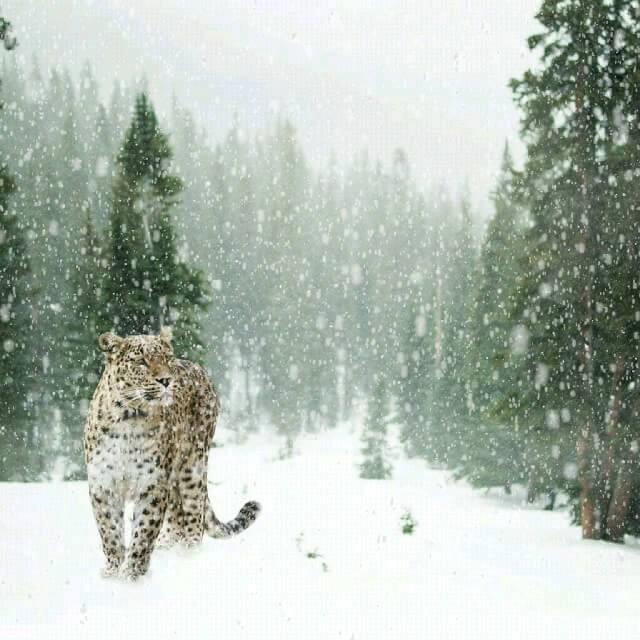 پلنگ و جنگل برفی