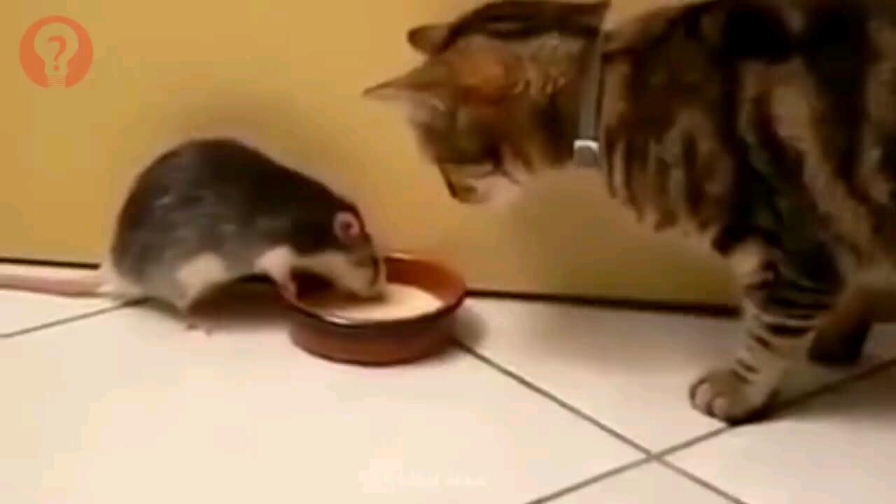 ویدیویی خنده دار از صحنه های رودررویی موش و گربه ها
