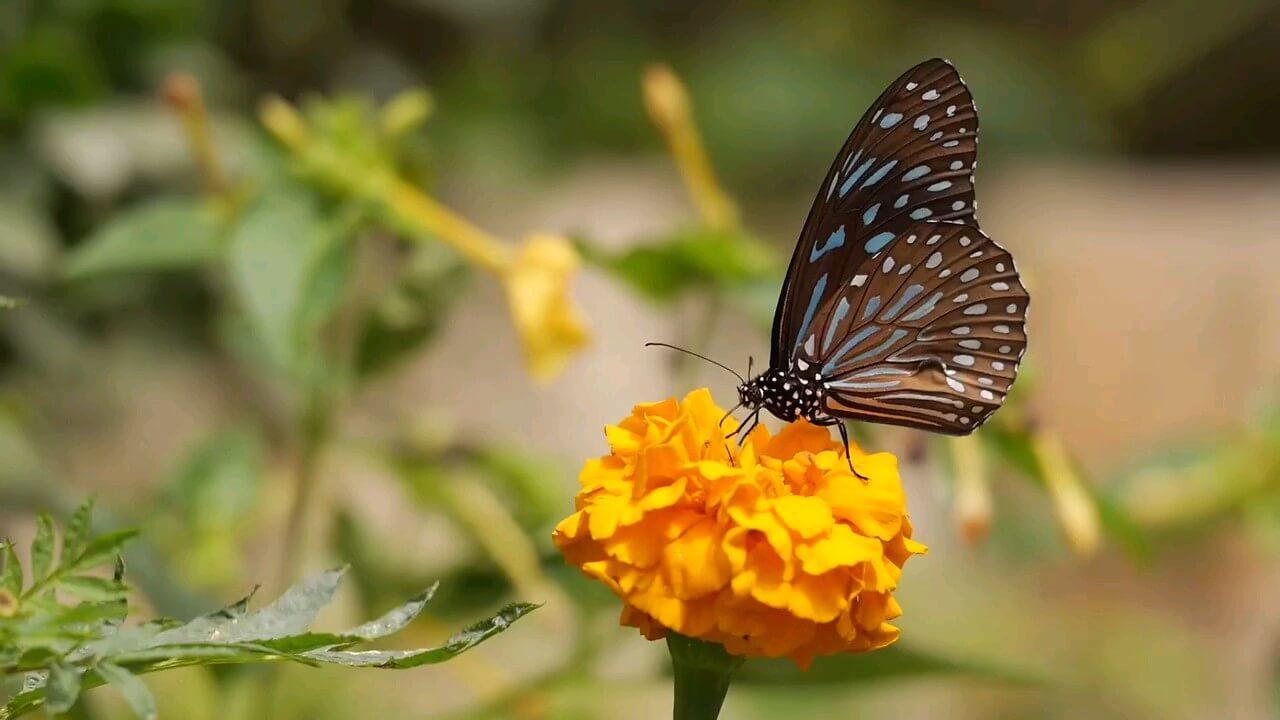 پروانه و باغ گل