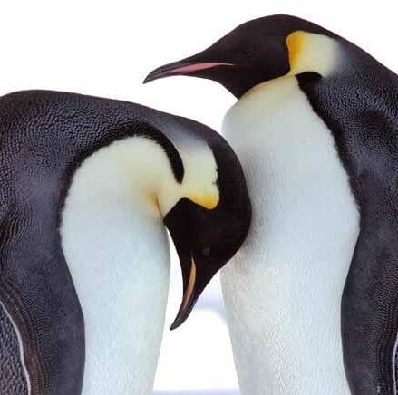 عشق بازی پنگوئن