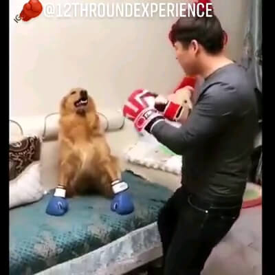 سگ بوکسور | بوکس بازی سگ