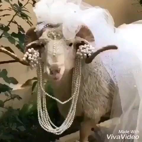 گوسفند بامزه با لباس عروس !