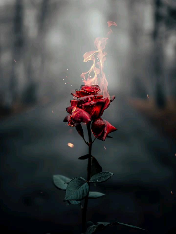 گل رز قرمز و قلب