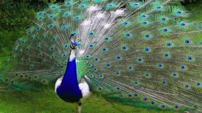 عکس متحرک طاووس