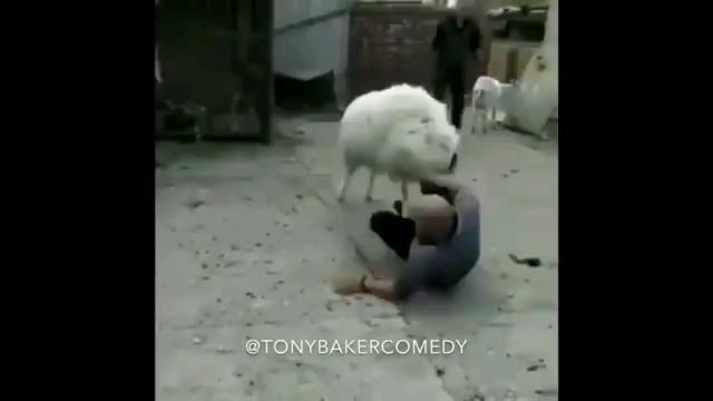 فیلم خنده دار حمله گوسفندان به انسانها