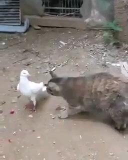 ترسیدن گربه از کبوتر | طبیعتا باید برعکس میشد!