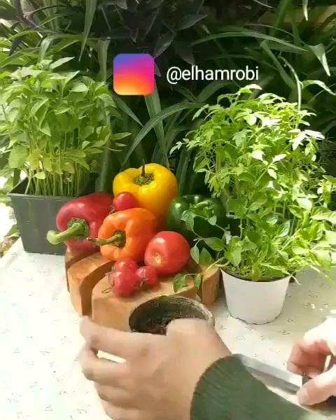 فیلم کاشت گوجه فرنگی در گلدان