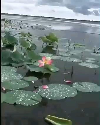 فیلم تالاب انزلی و نیلوفر آبی