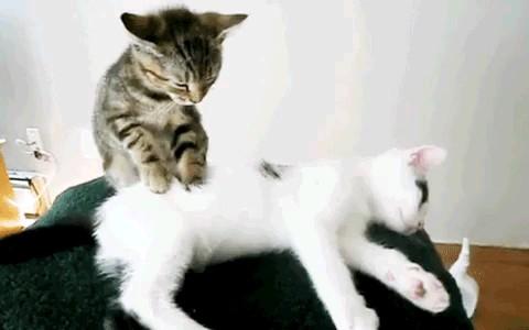 ماساژ دادن گربه ! گیف خنده دار
