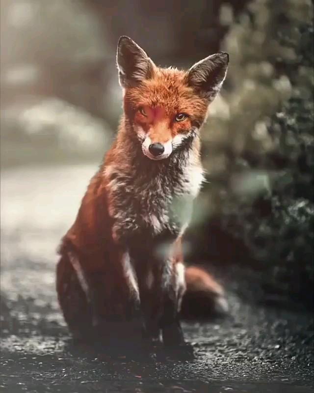 گیف روباه | عکس متحرک روباه