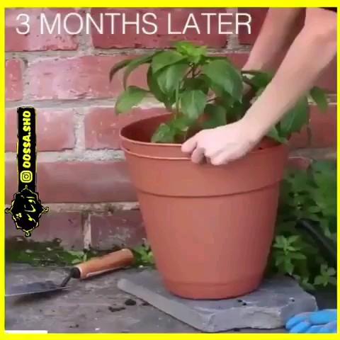 فیلم کاشت سیب زمینی در گلدان