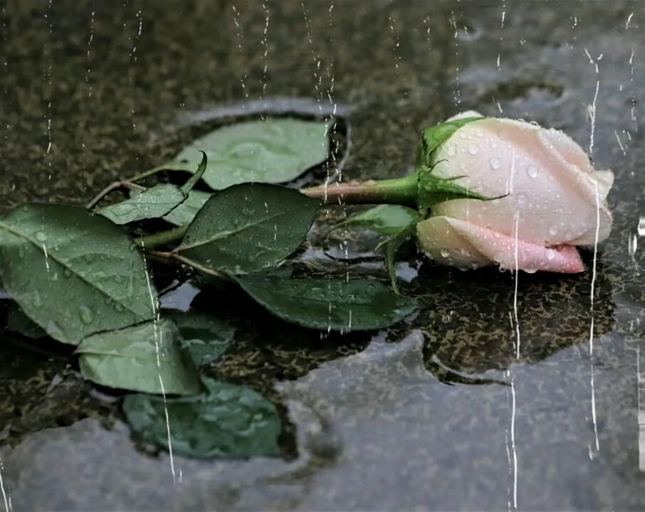 عکس متحرک گل رز عاشقانه
