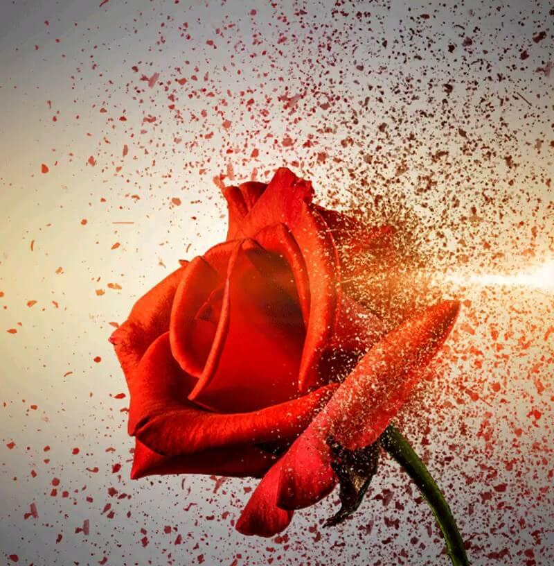 گیف متحرک گل رز قرمز