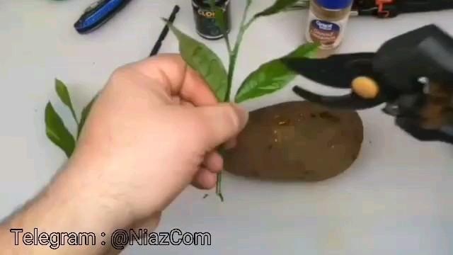 ترفند کاشت درخت لیمو با استفاده از سیب زمینی ، عسل و برگ درخت لیمو