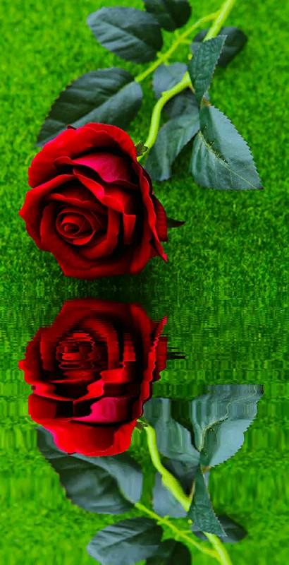 عکس متحرک گل رز قرمز برای پروفایل